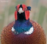 Fazant - Pheasant - Phasianus colchicus