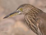 Indische Ralreiger - Indian Pond Heron - Ardeola grayii