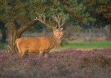 Edelhert - Red Deer - Cervus elaphus