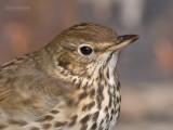 Zanglijster - Song thrush - Turdus philomelos