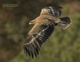 Steppearend - Steppe Eagle - Aquila nipalensis