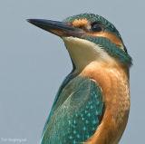 IJsvogel - Common kingfisher - Alcedo atthis