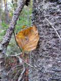 Leaf on Tree Trunk