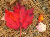 Large Red Leaf