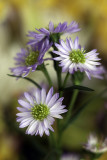 Variety of Aster?