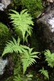 Ferns Near Little Long Pond #1