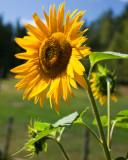 Sunflower 2009 #9