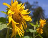 Sunflower 2009 #11