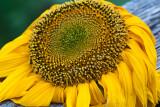 Sunflower 2009 #1