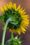 Sunflower 2009 #5
