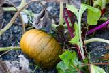 Little Pumpkin in the Lettuce Patch