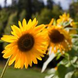 Sunflower 2009 #18