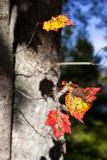 Autumn Leaves 2009 #1