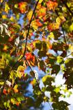 Autumn Leaves 2009 #2