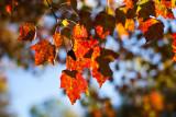 Autumn Leaves 2009 #3