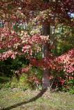 Red Leaves Side Yard