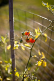 Cherry Tomatoes #2