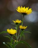 Sunflower 2009 #21
