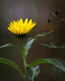 Sunflower 2009 #23