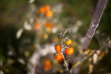 Cherry Tomatoes #3