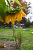 Sunflower 2009 #27