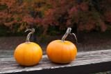 Pumpkin Pair with Maples in Background
