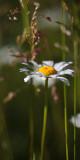 Lone Daisy in Grass