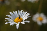 Daisy and Fly #2