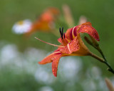 Day Lilies and Daisies #1