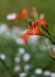 Day Lilies and Daisies #2