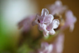 Tiny White Flowers in Cordial Glass #1