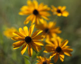 Black-eyed Susans Almost Gone By