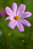 Lone Pink Cosmo