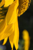Sunflower Profile Close Up