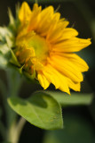 Lone Small Sunflower