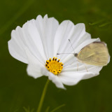 White Cosmo and Pink-edged Sulphur Butterfly #1