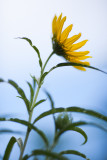 Lone Small Sunflower from Below