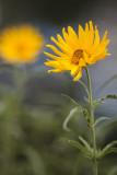 Small Sunflower Pair #1