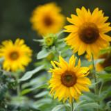 4½ Sunflowers
