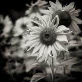 Sepia Sunflowers