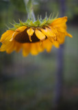 Sunflower Drooping Over the Garden Fence