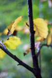 Early Autumn Birch Leaves #1