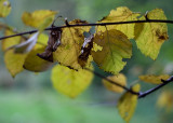 Early Autumn Birch Leaves #2