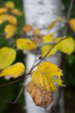 Early Autumn Birch Leaves