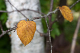 Early Autumn Birch Leaves #3