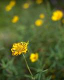 Dying Little Yellow Sunflower