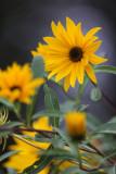 Little Sunflower Bunch