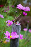 Cosmo by Fence Post