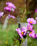 Cosmos by Garden Fence Post