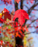 Very Red Leaf by Maple